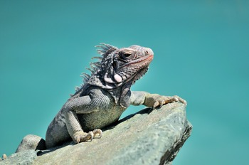 Iguana on a Teal Background