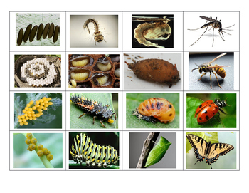 Insect Life Cycle Sort