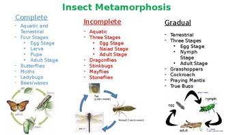 Insect Metamorphosis