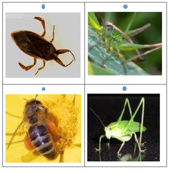 Insect Pictures Set 1 for Quiz Board
