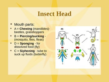 Insect PowerPoint