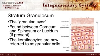 Integumentary System: Anatomy and Physiology