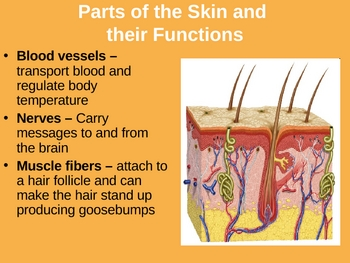 Integumentary System Power Point Presentation- Skin, Hair and Nails