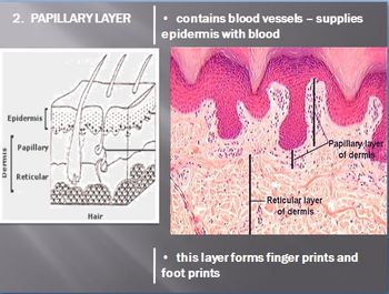 Integumentary System (Skin) Notes - Layers of the Skin and Skin Color