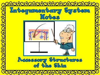 Integumentary System (Skin) Notes - Accessory Structures of the Skin