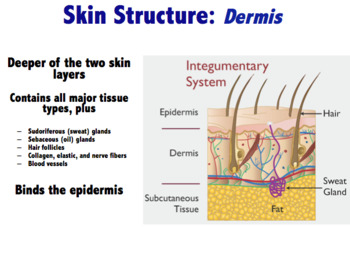 Integumentary System - Skin structure,  lesions, cancer & burns (Editable)