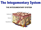 Integumentary System - Skin structure,  lesions, cancer &