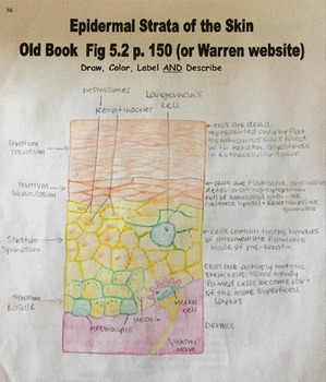 Interactive Notebook Unit Packet Key: Integumentary/Skin-Unit 3 in Series (Fall)