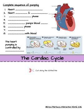 The Circulatory System Interactive Flip Book and Quiz