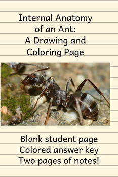 Internal Anatomy of an ANT: drawing