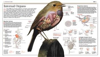 Internal Organs of a Bird