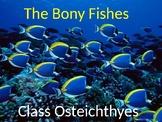 Intro to Bony Fish (Basic)