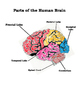 Intro to Human Biology - The Brain