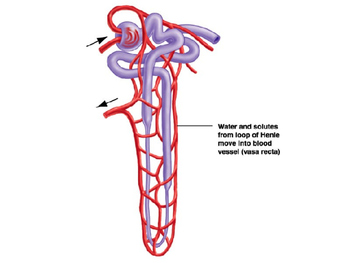 Introduction to Nephrons (Kidney) PPT