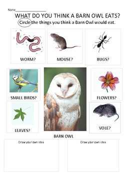 Introduction to owl pellets-What do you think a Barn owl e