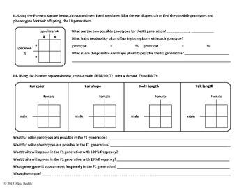 Introductory Genetics - Punnett Square Lab (Single Gene Cross)