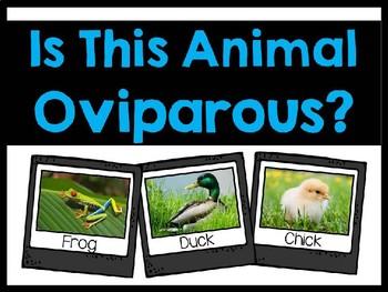 Is This Animal Oviparous?