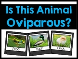 Is This Animal Oviparous?