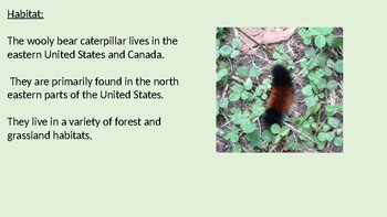 Isabella Tiger Moth - Wooly Bear Caterpillar power point information facts