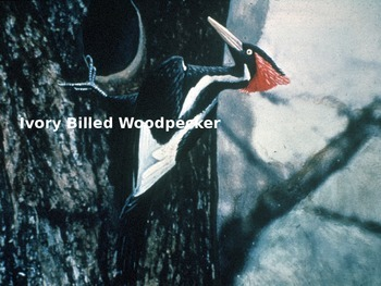 Ivory Billed Wood Pecker - Power Point - Information Facts