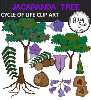 CYCLE OF LIFE. JACARANDA TREE
