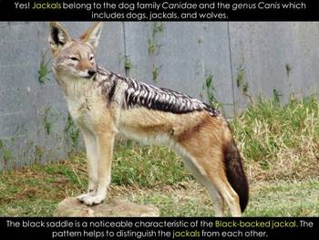JACKAL - An African Animal study