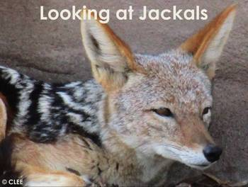 JACKAL - An African Animal study