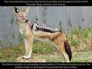 JACKAL - An African Animal study PDF