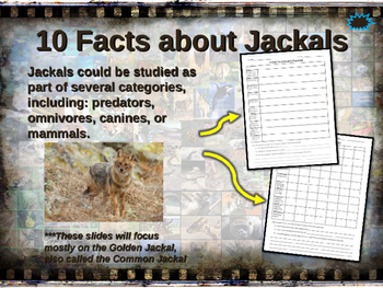 JACKALS - visually engaging PPT w facts, video links, handouts & more