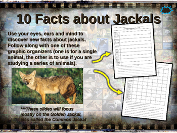 JACKALS - visually engaging PPT w facts, video links, hand