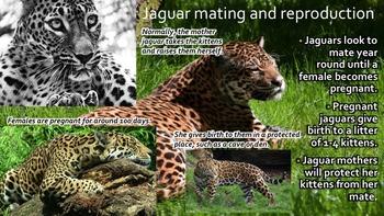 Jaguars - Powerpoint