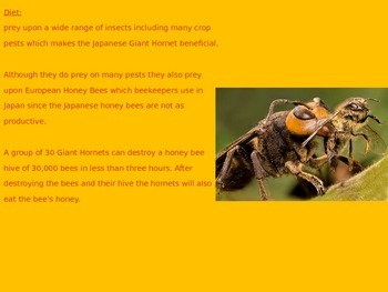 Japanese Giant Hornet - Power Point - Information Facts Pictures