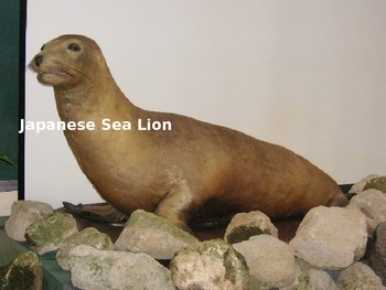 Japanese Sea Lion - Power Point - Extinct - Facts Informat