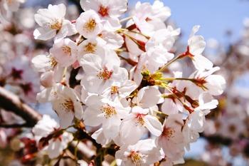 Japanese photos - Cherry blossoms