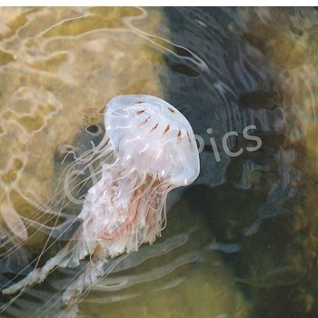 Jellyfish Stock Photos Set One for Commercial Use