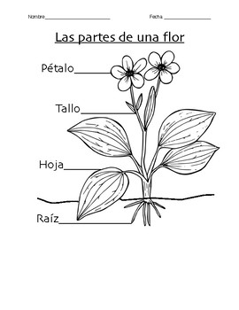 K-2 Parts of a Flower and Plant Needs Worksheet (Spanish) | TpT