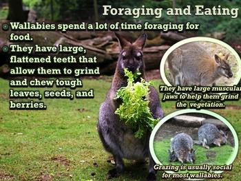 Kangaroos and Wallabies PowerPoint & Activities Bundle