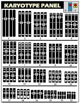 Karyotypes