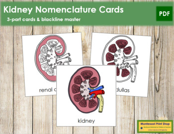 Kidney Nomenclature Cards