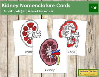 Kidney Nomenclature Cards (Red)