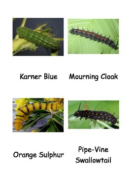 Kinds of Butterfly Caterpillars
