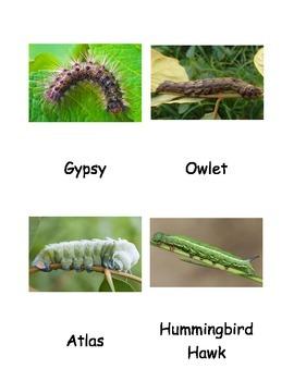 Kinds of Moth Caterpillars Cards