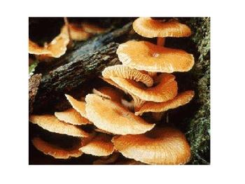 Kingdom Fungi Ppt