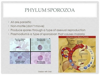 Characteristics and Phyla of Kingdom Protista: PowerPoint & Interactive Notebook