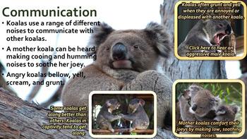 Koala Bears - PowerPoint & Activities