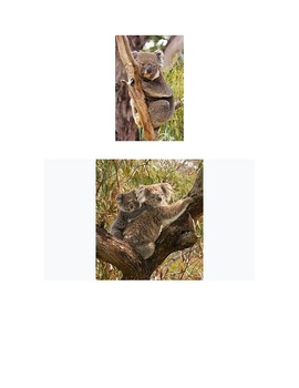Koalas Reading with Comprehension Questions