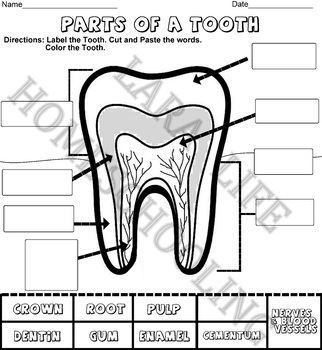 LABEL THE PARTS OF A TOOTH - CUT & PASTE - COLOR