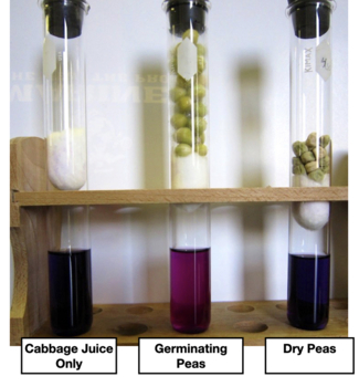 Cellular Respiration - Using Cabbage Juice to Observe CO2 Production