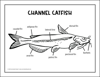 label a fish diagram parts of a fish labeling channel catfish Label Border