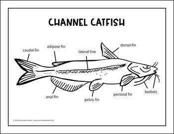label a fish diagram - parts of a fish labeling - channel catfish  teachers pay teachers